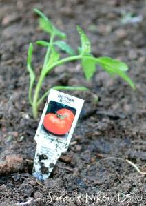 Better Boy tomato plant