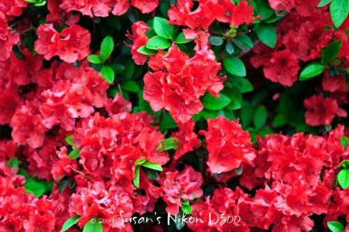 newest-6044-sfa-red-azaleas