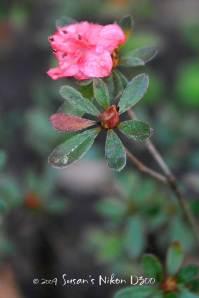 One pathetic azalea bloom