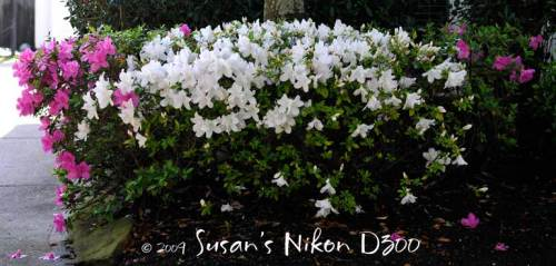 Sylvia's multi-colored azaleas