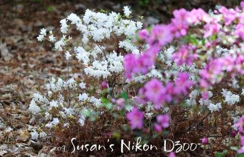White and purple azaleas