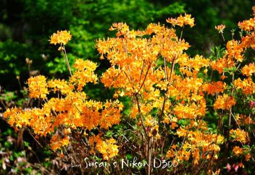 Golden azaleas
