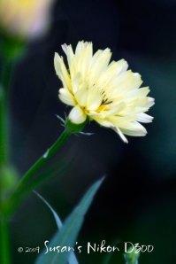 6523-yellow-wildflower