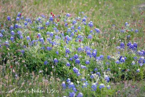 Blooming bluebonnets with crimson clovers