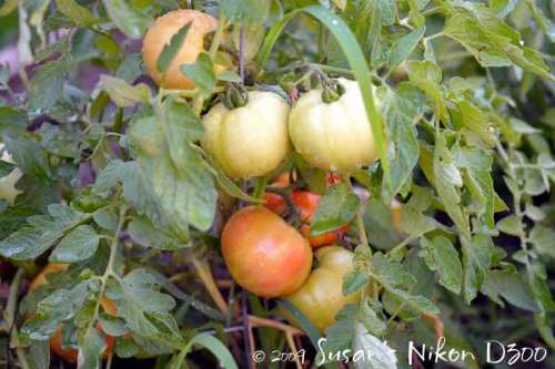 More-ripening Early Girls