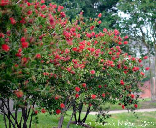 Beautiful bottlebrush bushes