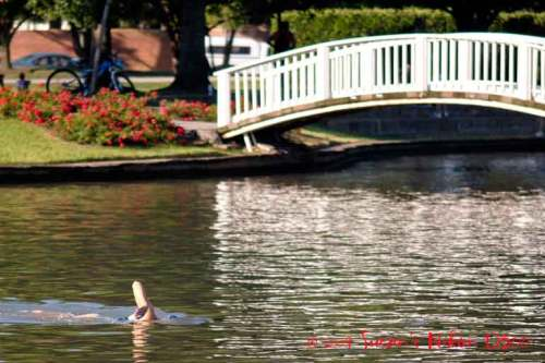 Lone swimmer travels past my favorite bridge.