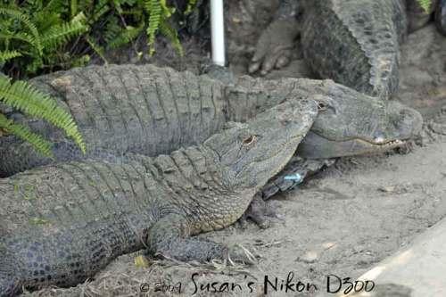 Some loving gators