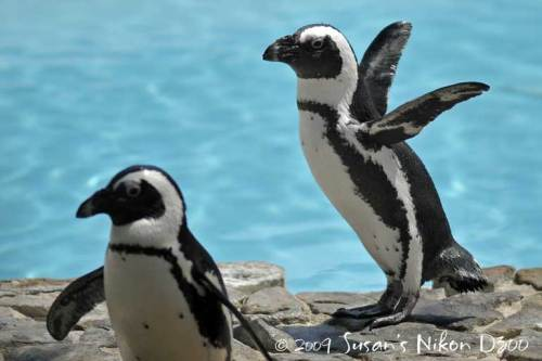 The blackfoot penguins show off.