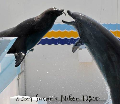 A dolphin takes a fish from the sea lion's mouth! Good restraint shown by the sea lion!!