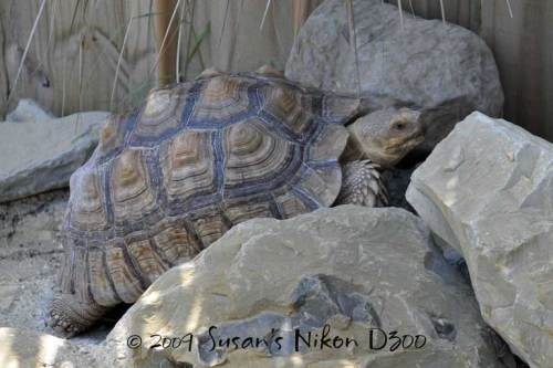 An African Spurred Tortoise relaxes.