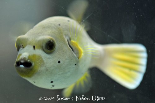 A dog-faced puffer fish floats in one of the tanks in the Living Sea exhibit.