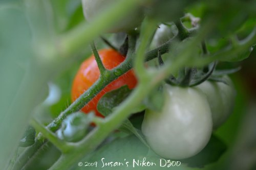 A ripe and still-to-ripen sweet cherry tomatoes