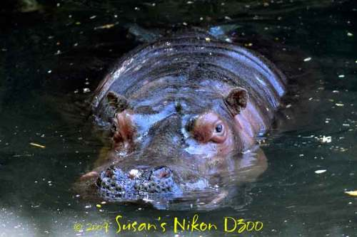 A hippo peeks out from the murky water.