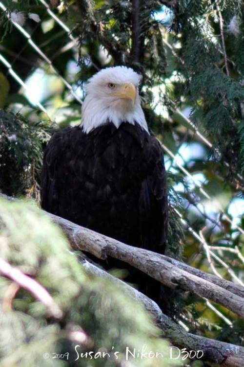 Vertical eagle