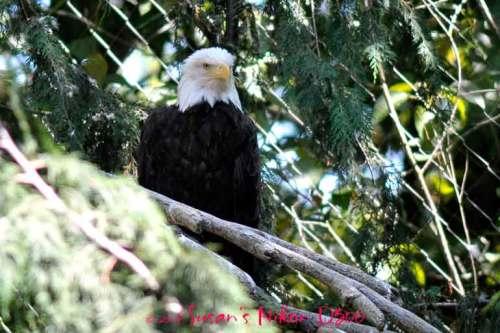 Horizontal eagle