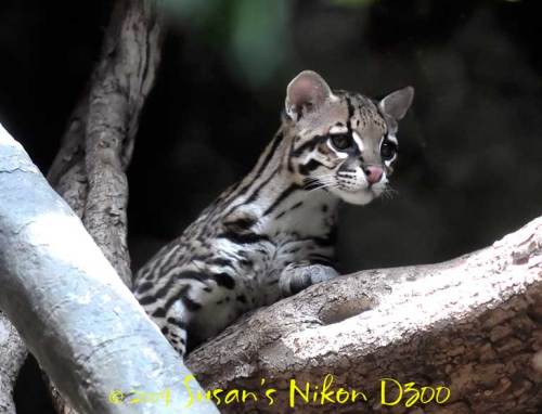 Cute ocelot photo alert!