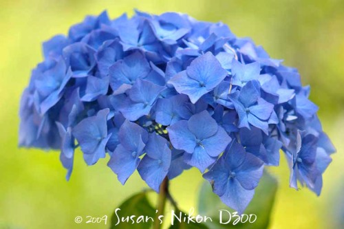 Blue hydrangeas at the Woodland Park Zoo in Seattle