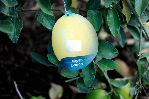 Everything I need to know about our Meyer lemon tree . . . still on the tree.