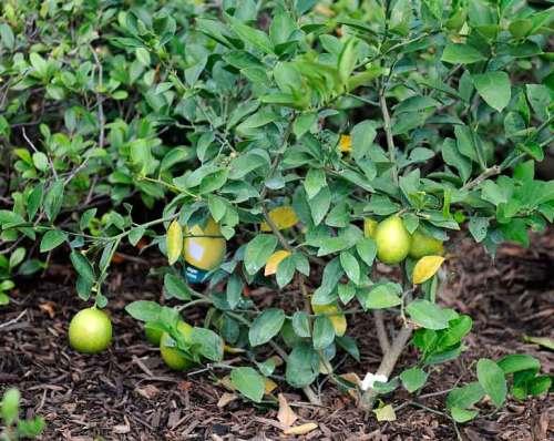 A bumper crop of lemons