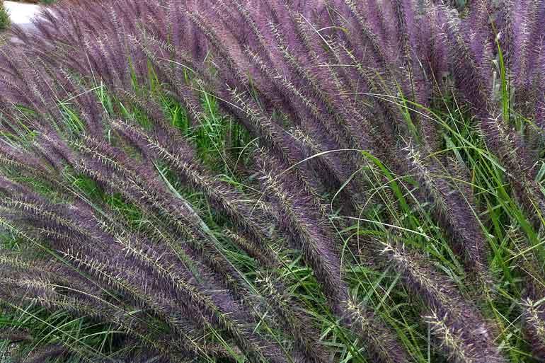 September 2011 random snippets apertures for Purple grasses for landscaping