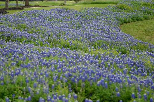 Loads of bluebonnets . . . love 'em!