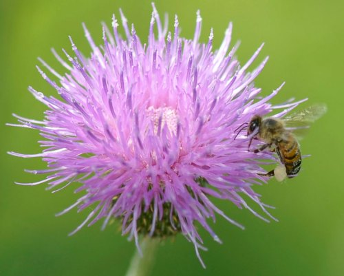 Thistle pollen covers the bee.