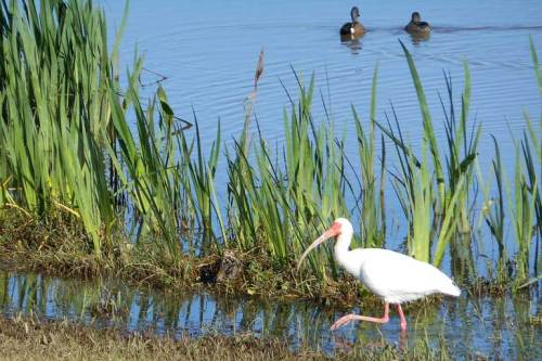 An ibis enjoys the water along the shore. (Nikon S6200)