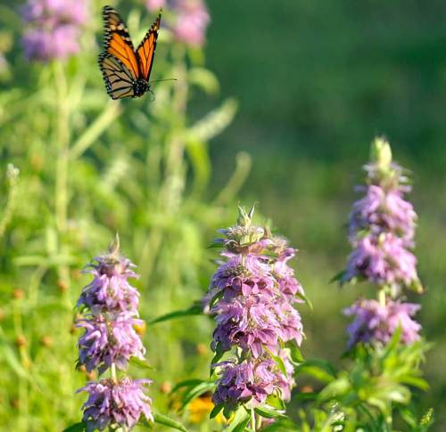 A monarch looks for the perfect horsemint to land on.