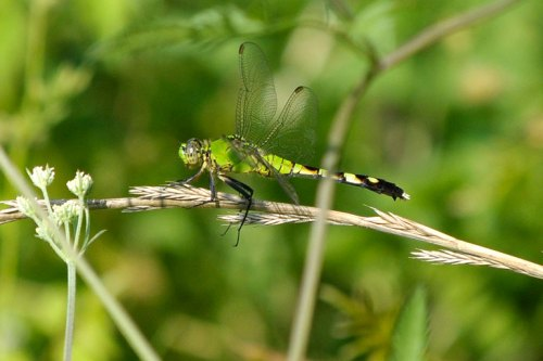 A green dragonfly tries to blend in with his surroundings.