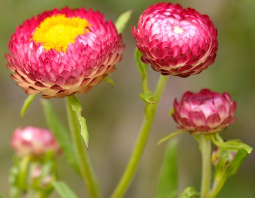 I shot these strawflowers during my Chicago trip.