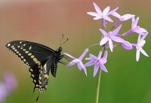 A swallowtail butterfly enjoys society garlic.