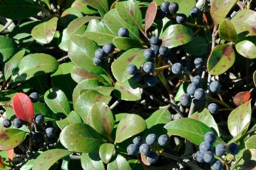 Bluish fruit grows on a local shrub.