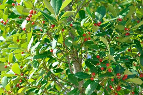 Red fruit brighten up a tree.