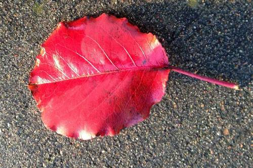 The bright red of a fallen leaf brightens up the path.
