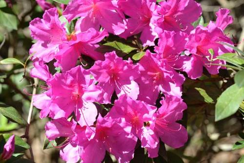 My neighbors' azaleas brighten up our cul-de-sac.