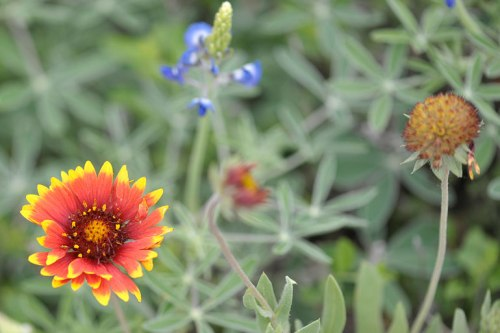 Looks like the Indian Blanket will have company.