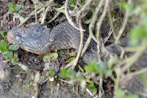 Real snake eyes!