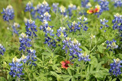 Note the treasures among the bluebonnets: Indian blankets plus a bee!