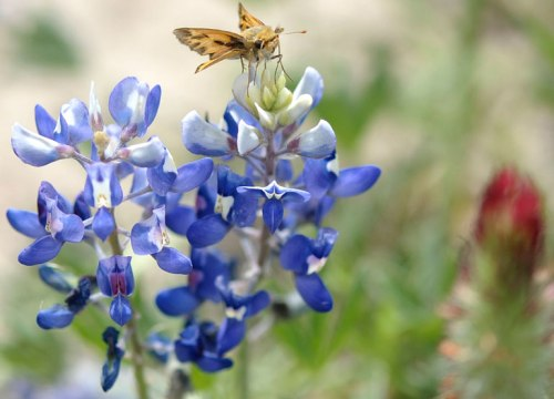 King of the bluebonnet!