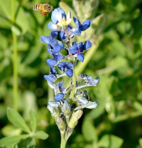 A bee hovers over a bluebonnet.