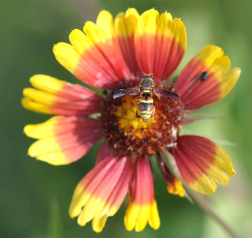 A waspy bee enjoys an Indian blanket.