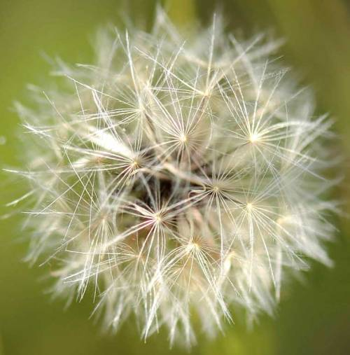 Dandelions shot at Imperial Park.