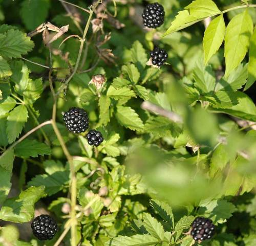 Plump blackberries