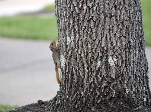 This was how far he could climb the oak tree.