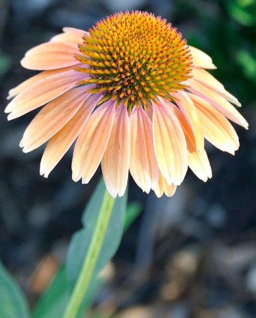 #1537-(yellow-coneflower)