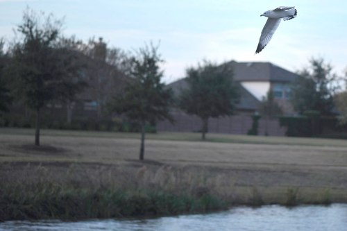 A tern soars above the water.