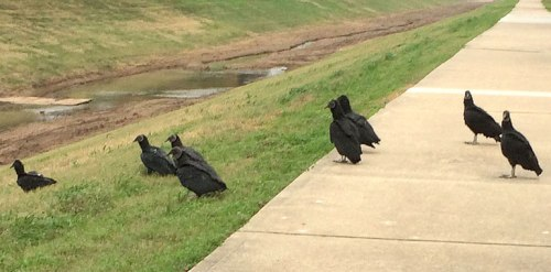 These black vultures blocked my path Saturday morning; they creep me out!