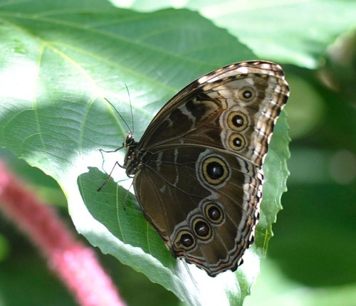The underside of the blue morpho is stunning.
