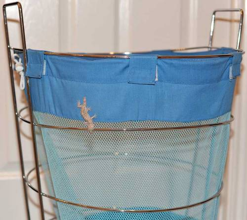 This mediterranean house gecko is a freeloader on our clothes hamper.